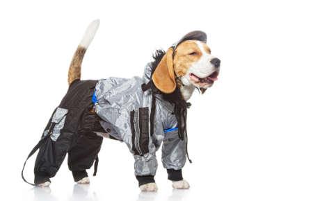 perro policia: Perro Beagle aislada sobre fondo blanco