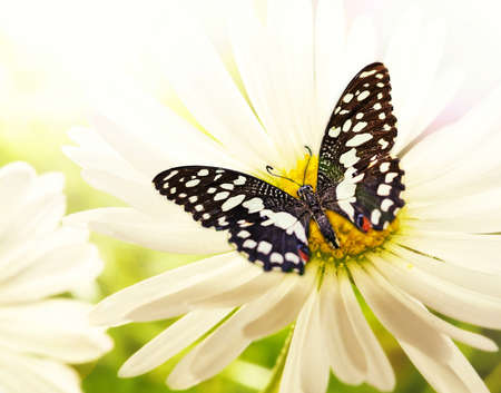 Butterfly sitting on a chamomile flower Stock Photo - 9026709