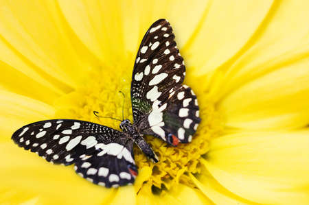 Butterfly sleeping on yellow flower Stock Photo - 9026799
