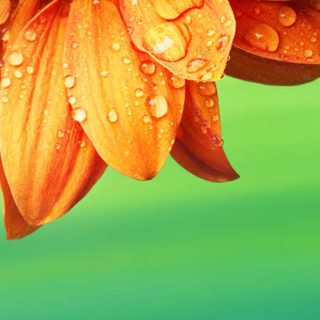 Orange flower petals with water drops on it Stock Photo - 9102294