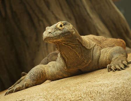 komodo: Close-up di un drago di komodo