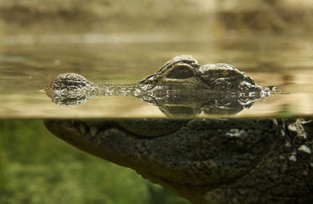 Crocodile in a water