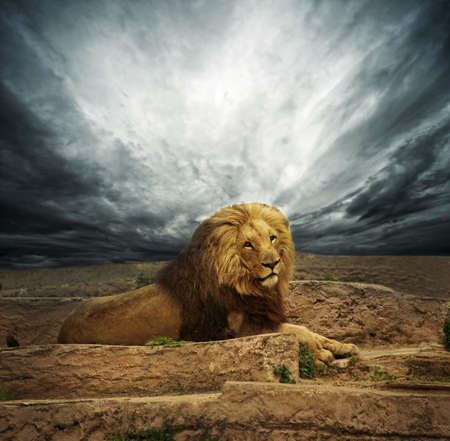 African lion in the desert