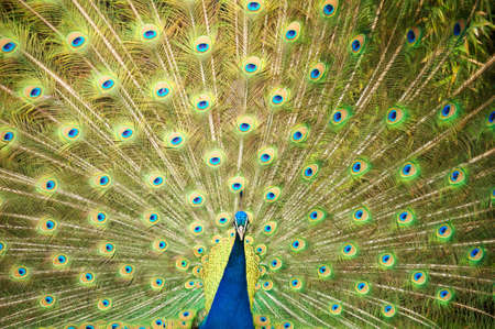 flaunt: Peacock spread the tail feathers Stock Photo