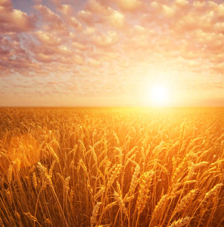corn meal: Wheat field over cloudy sky Stock Photo
