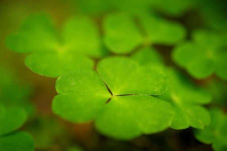 Close-up of clover leaves Stock Photo - 9732917