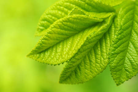 Beautiful green leaves close-up. photo
