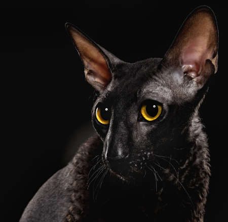 cornish: Black Cornish Rex cat