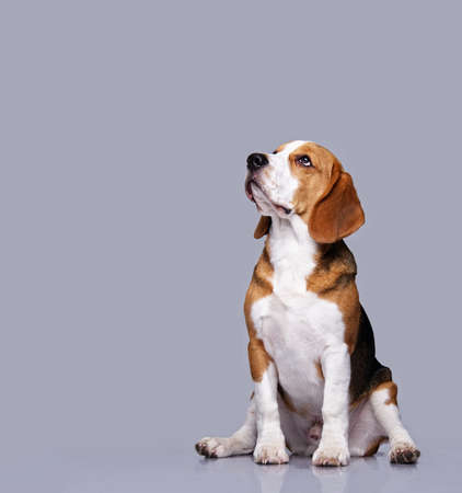 dog grooming: Beagle dog isolated on grey background