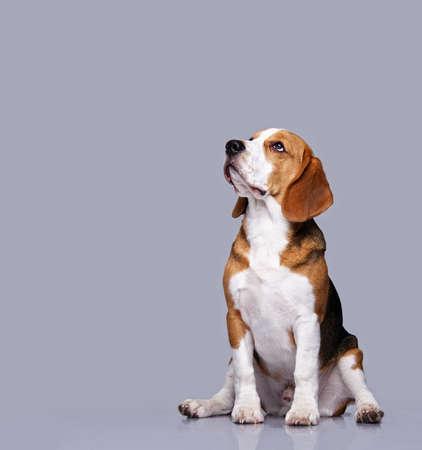 clumsy: Cane Beagle isolato su sfondo grigio Archivio Fotografico
