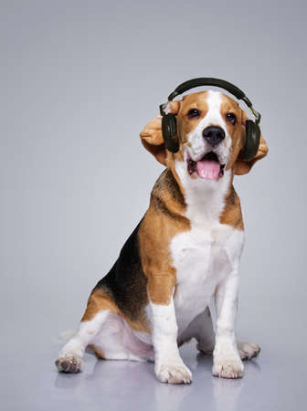 Beagle dog wearing headphones.  photo