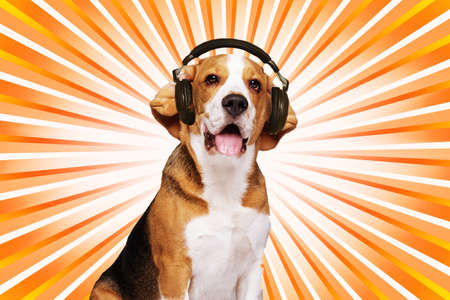 Beagle dog wearing headphones over abstract background. photo