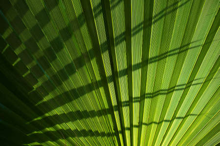 Palm leaf background. photo