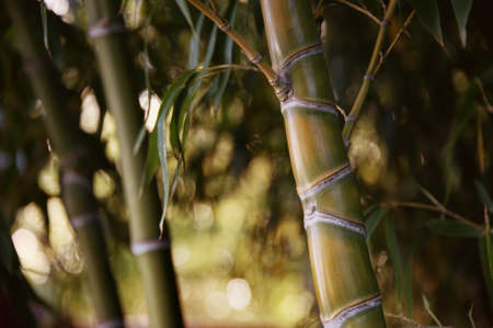 Close-up of a bamboo plant. photo