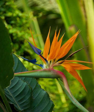 bloom bird of paradise: Bird of paradise flower (Strelitzia reginae)