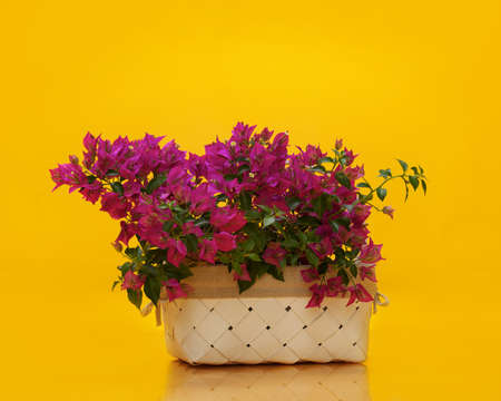 magenta flowers: Basket with magenta flowers isolated on yellow