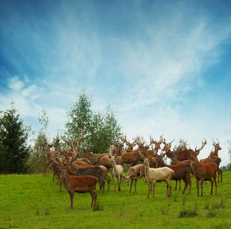 Deer flock in natural habitat  photo