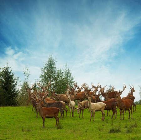 herd deer: Deer flock in natural habitat