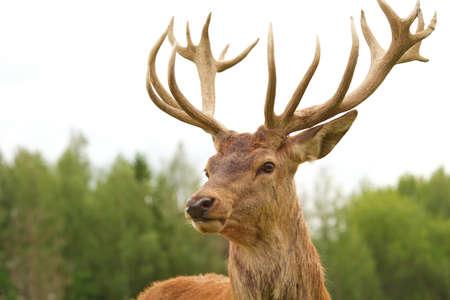 stag horn: Deer close-up