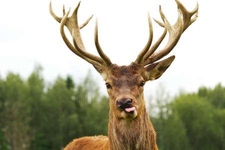 huge antlers: Deer close-up