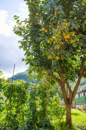 Beautiful lemon tree growing outdoor photo