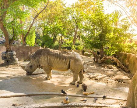 molares: Rinoceronte en el zoológico en un día soleado