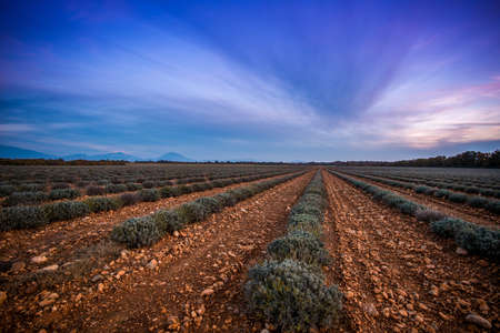 Beautiful sky over autumnal lavender field Stock Photo - 16611574