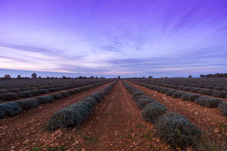 Beautiful sky over autumnal lavender field Stock Photo - 16611730
