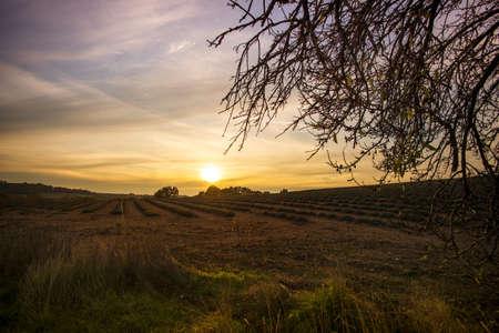 lavendin: Autumn lavender field on sunset