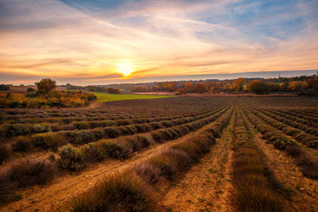 Autumn lavender field on sunset Stock Photo - 16611762