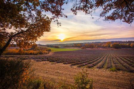 Beautiful autumnal lavender field Stock Photo - 16659621