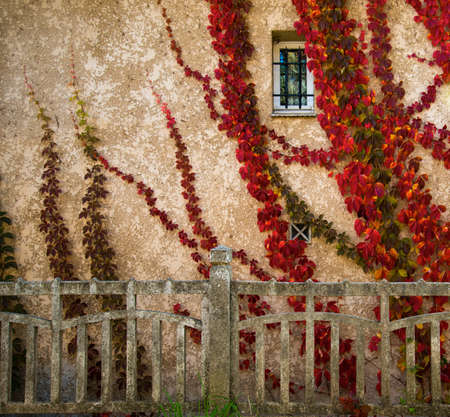 Beautiful red leaves on house wall photo