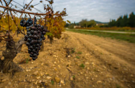 Dark grape against wineyard view Stock Photo - 16752065
