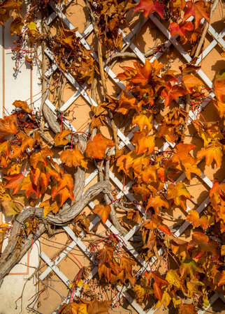 Beautiful autumn leaves on house wall Stock Photo - 17107378