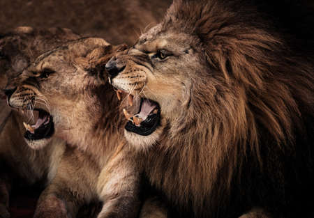 Close-up shot of roaring lion and lioness  photo