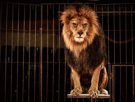animaux cirque: Lion en cage dans un cirque