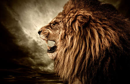 León rugiente contra el cielo tormentoso Foto de archivo
