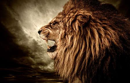 leones: Le�n rugiente contra el cielo tormentoso