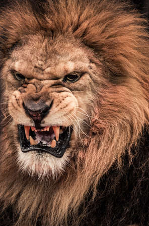 Close-up shot of roaring lion photo