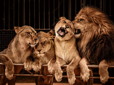dangerous lion: Lion and three lioness Stock Photo