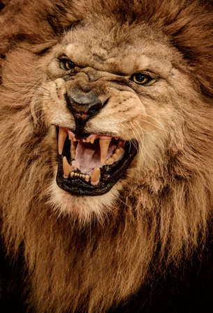 dangerous lion: Close-up shot of roaring lion