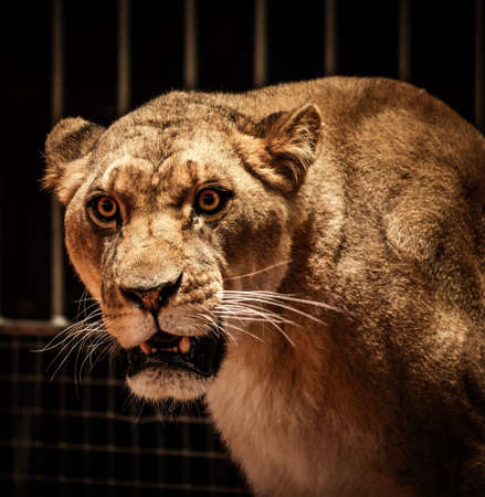 Close-up shot of lioness photo