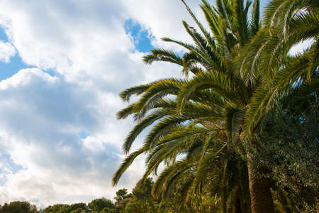 Big palm tree against sky with clouds photo