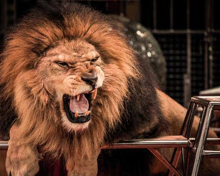 Close-up shot de león rugiente hermosa arena en el circo