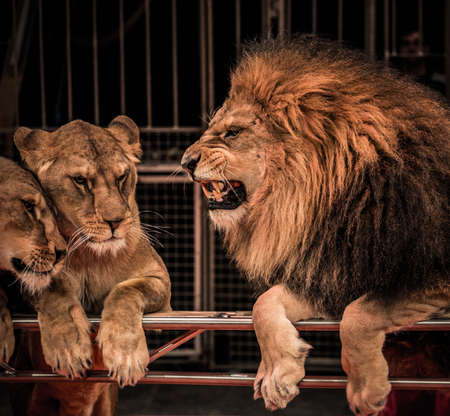 lioness: Gorgeous roaring lion and two lioness on circus arena Stock Photo