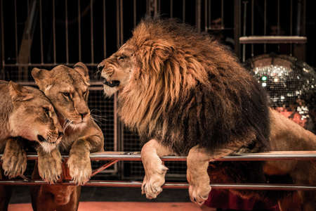 female lion: Gorgeous roaring lion and two lioness on circus arena Stock Photo