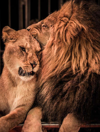 female lion: Gorgeous lion and lioness on circus arena