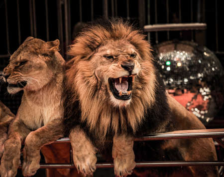 roar: Gorgeous roaring lion and lioness on circus arena Stock Photo