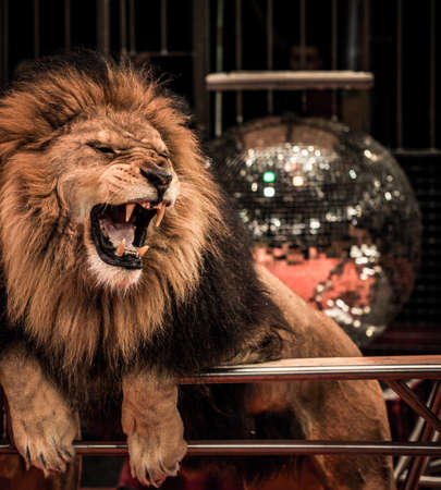 angry lion: Close-up shot of  gorgeous roaring lion in circus arena Stock Photo