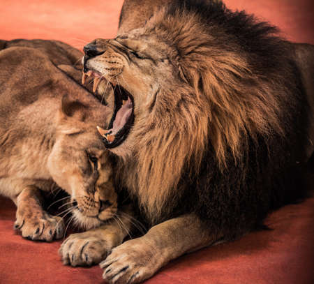 lioness: Gorgeous roaring lion and lioness on circus arena Stock Photo